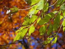 Free Green Autumn Leaves Stock Image - 694331