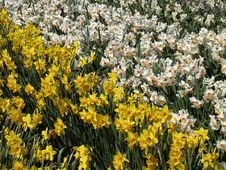 Free Daffodils Royalty Free Stock Photos - 694428