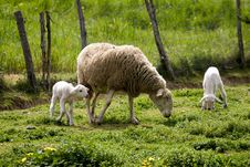 Free Sheep Stock Images - 694694