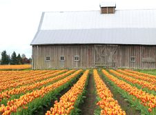 Free Barn Tulips Stock Photos - 694853