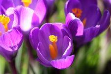 Crocus Aquarelle Royalty Free Stock Photos