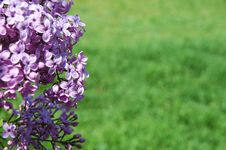 Free Lilac And Grass Background 1 Stock Photo - 695740