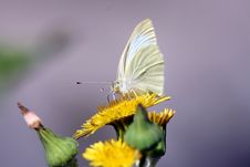 Free White Butterfly Stock Photography - 695772