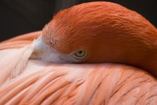 Free Flamingo Stock Photography - 695882