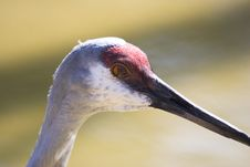 Free Sandhill Crane Stock Photo - 695970