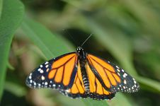 Free Monarch On Leaf Stock Image - 696031