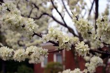 Free Spring Blooming Tree Royalty Free Stock Photography - 696147