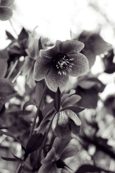 Free Hellebore Royalty Free Stock Photography - 696177