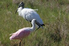Free Roseate Spoonbill & Wood Stork Stock Photography - 696792