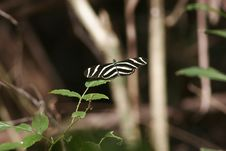Zebra Longwing Stock Image