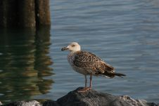 Free Seagull On A Rock Stock Photography - 696892