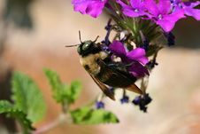 Free Bee On Verbena Stock Photos - 696893