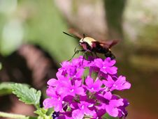 Free Hummingbird Moth Stock Photos - 697103