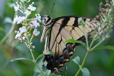 Free Swallowtail Butterfly Royalty Free Stock Image - 697126