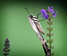 Free Swallowtail Side Stock Photography - 697192