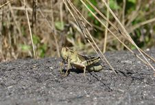 Free Grasshopper Stock Photos - 697213