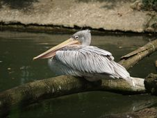 Free Pelican Stock Photo - 697620