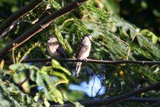 Free Couple Of Zebra Doves Stock Photography - 697622