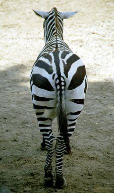 Free Zebra Royalty Free Stock Photography - 697637
