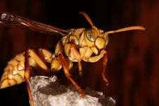Free Hornet Side Stock Photography - 697642