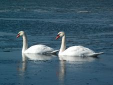 Free Two Swans Royalty Free Stock Photo - 698025