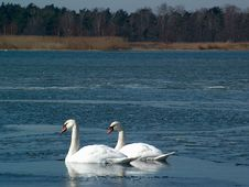 Free Two Swans Royalty Free Stock Photography - 698027