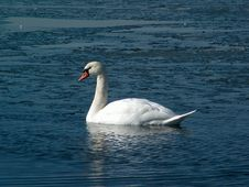Free Swan Royalty Free Stock Photos - 698028