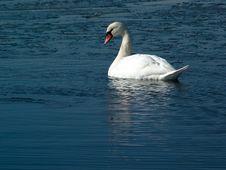 Free Swan Stock Photo - 698030