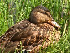 Free Duck Royalty Free Stock Photography - 698197
