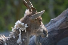 Turkomen Markhor Royalty Free Stock Image
