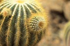 Free Yellow Cactus Stock Photos - 698373