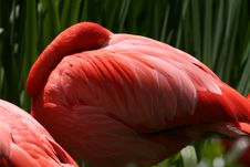 Free Flamingo Resting Stock Photos - 698403