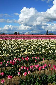 Free Tulip Fields Stock Photos - 699133