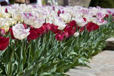 Free Tulip Walk Stock Photography - 699222