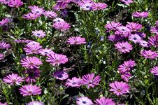 Free Purple Daisies Royalty Free Stock Photo - 699225