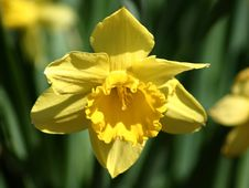 Free Yellow Daffodil Stock Photography - 699332