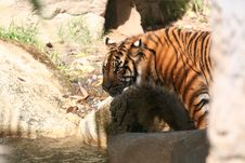 Free Tiger Drinking Stock Photo - 699390