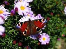 Free Peacock Butterfly Stock Image - 699481