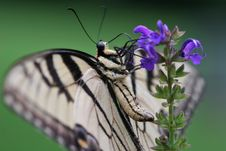 Swallowtail Side Royalty Free Stock Images