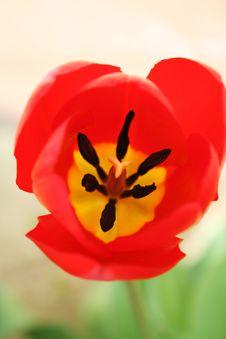 Free Tulip03 Stock Image - 699831