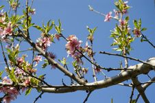 Free Peach Flowers Stock Images - 699874
