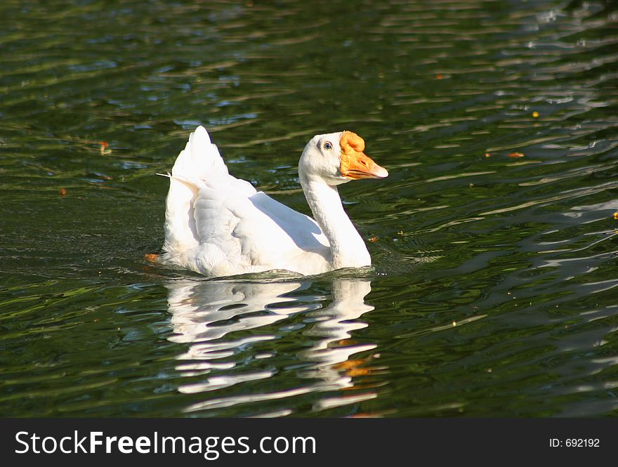 A lone goose