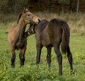 Free Two Foals On The Field Royalty Free Stock Photo - 6903865