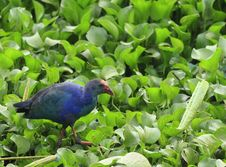 Free Swamphen Royalty Free Stock Photos - 6900498