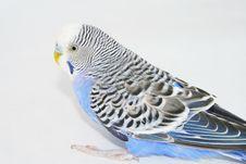 Free Wavy Parrot Royalty Free Stock Photos - 6900538