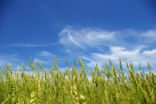 Free Corn With A Blue Sky Stock Photo - 6901280