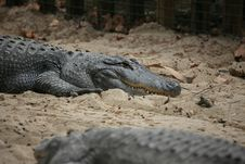 Free Crocodile Stock Images - 6901624