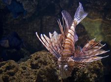 Free Red Lion Fish Royalty Free Stock Photo - 6901845