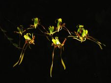 Free Rare Spider Orchid Stock Photography - 6901982