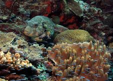 Free Puffer Fish Stock Images - 6902804